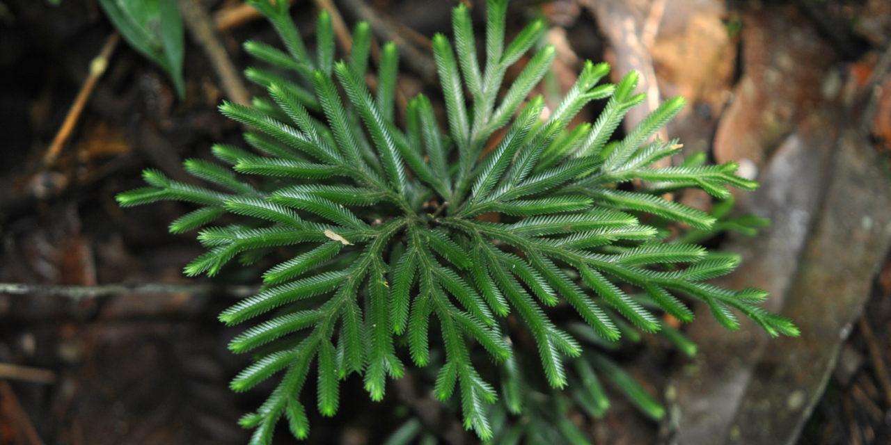 Selaginella cf. wariensis