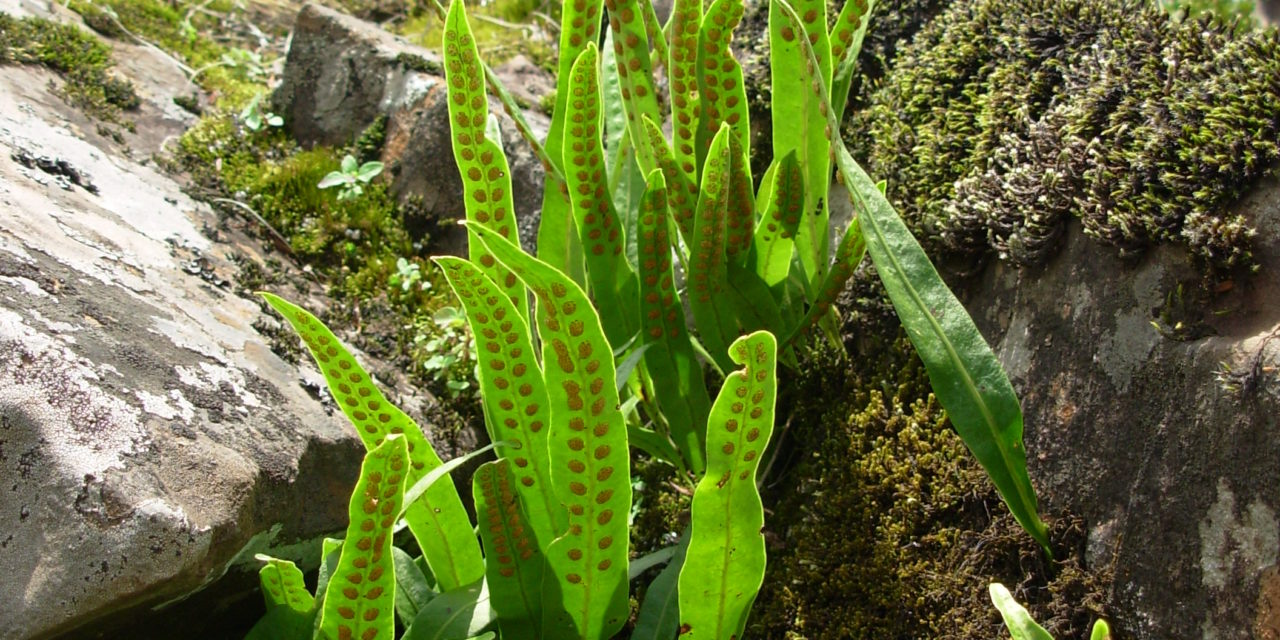 Lepisorus scolopendrium