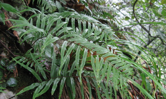 Polypodioides chinensis