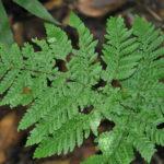 Tectaria pubescens
