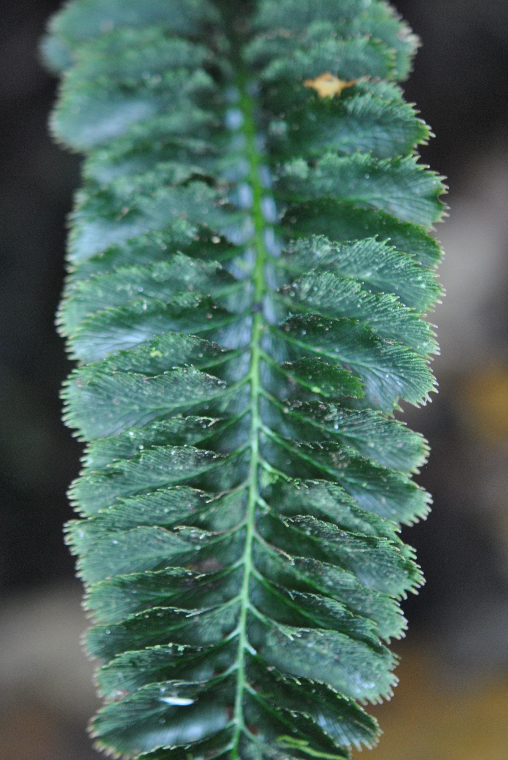 Cephalomanes atrovirens
