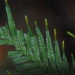 Selaginella velutina