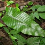 Neocheiropteris ovata