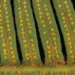 Sticherus squamosus