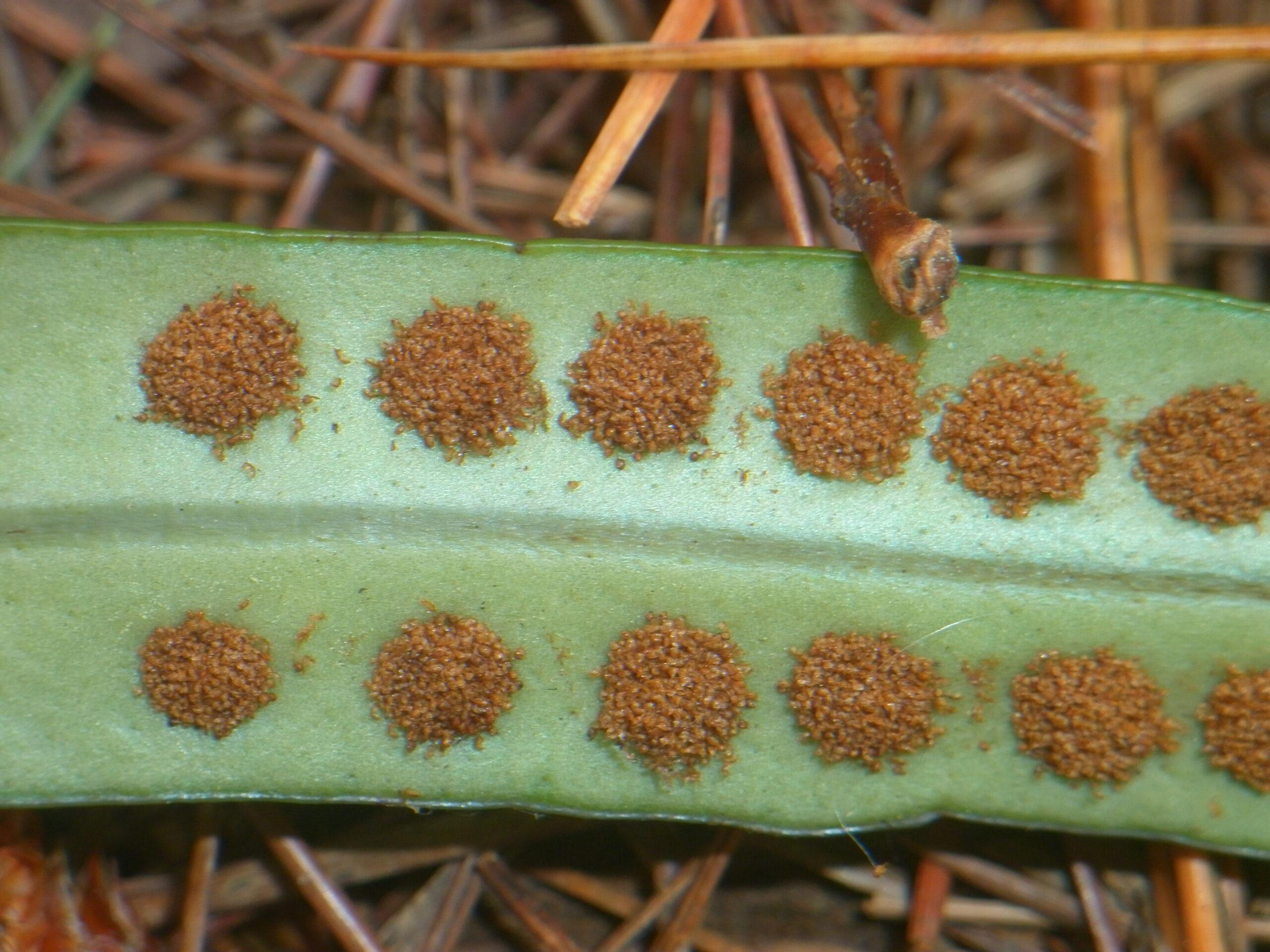 Selliguea banaensis