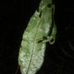 Elaphoglossumpapillosum
