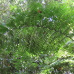 Rebecca Tree Fern – Cyathea rebeccae – Cyatheaceae – Misty Mountains – Charmillin Creek Trail (1) (Cyathea rebeccae)