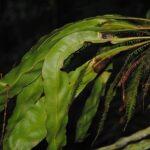 Elaphoglossum latemarginatum