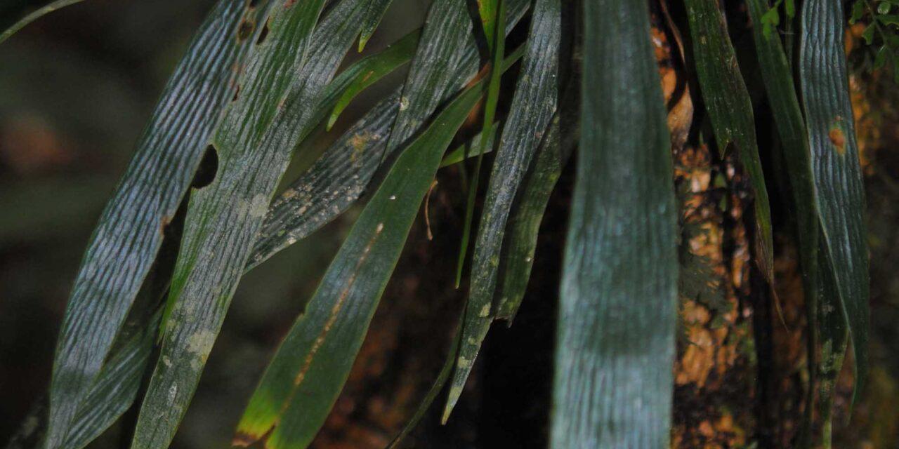Antrophyum plantagineum