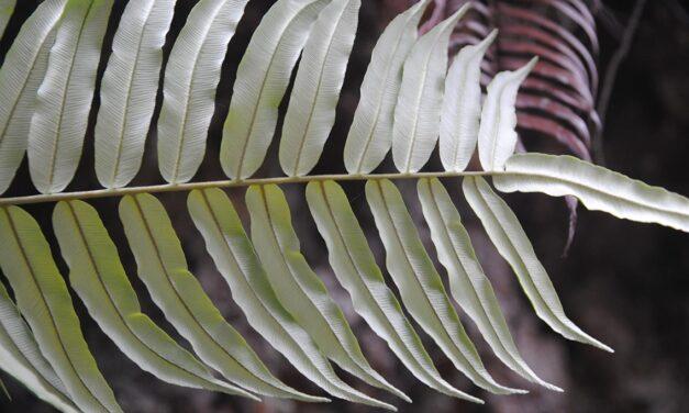 Lomariocycas werckleana