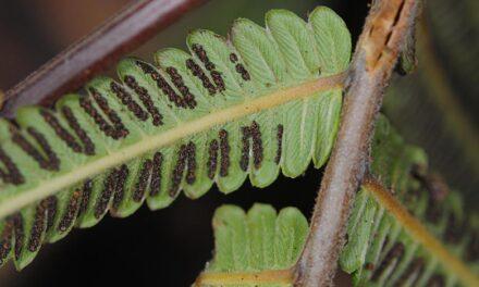 Sphaerostephanos unitus