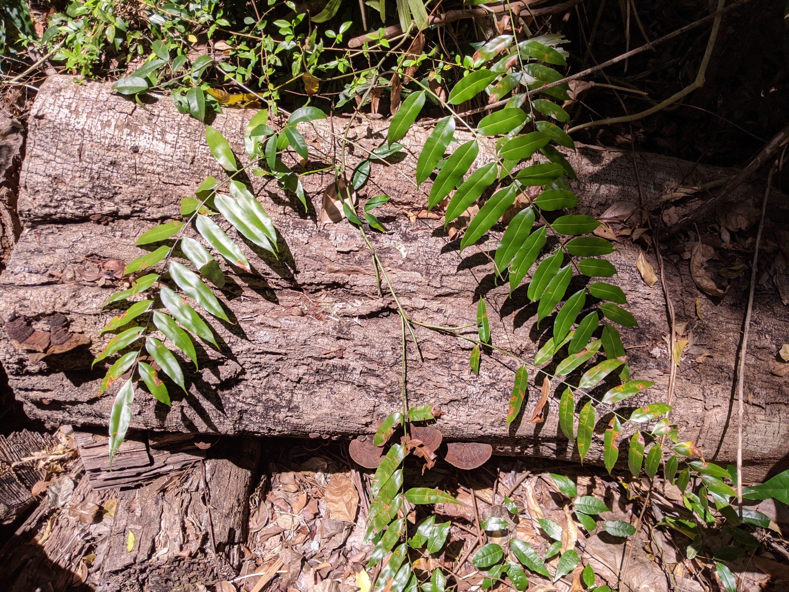 Stenochlaena palustris