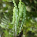 Elaphoglossum pygmaeum