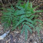 Pteris pacifica