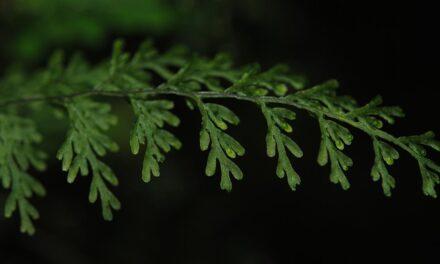 Hymenophyllum productum