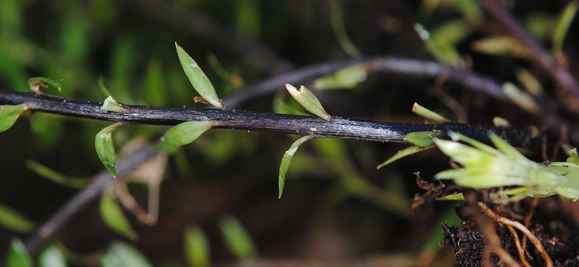 Phlegmariurus ledermannii