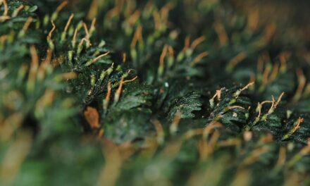 Callistopteris apiifolia