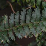 Lindsaea repens var. sessilis