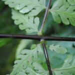 Dennstaedtia glabrata