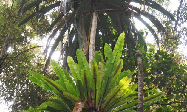 Asplenium musifolium