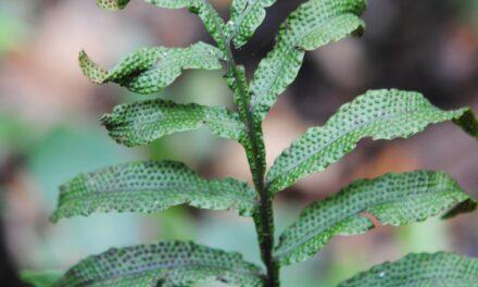 Tectaria decurrens x repanda