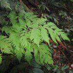 Tectaria latifolia