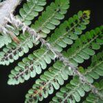 Cyathea albidosquamulata