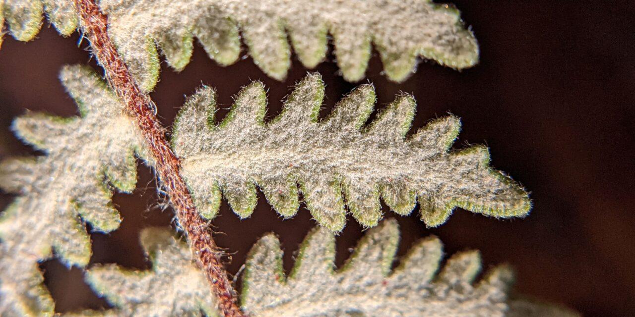 Myriopteris aurea