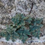 Southwestern False Cloak Fern – Argyrochosma limitanea – Pteridaceae – Whetstone Mountains – French Joe Canyon (2) (Argyrochosma limitanea)