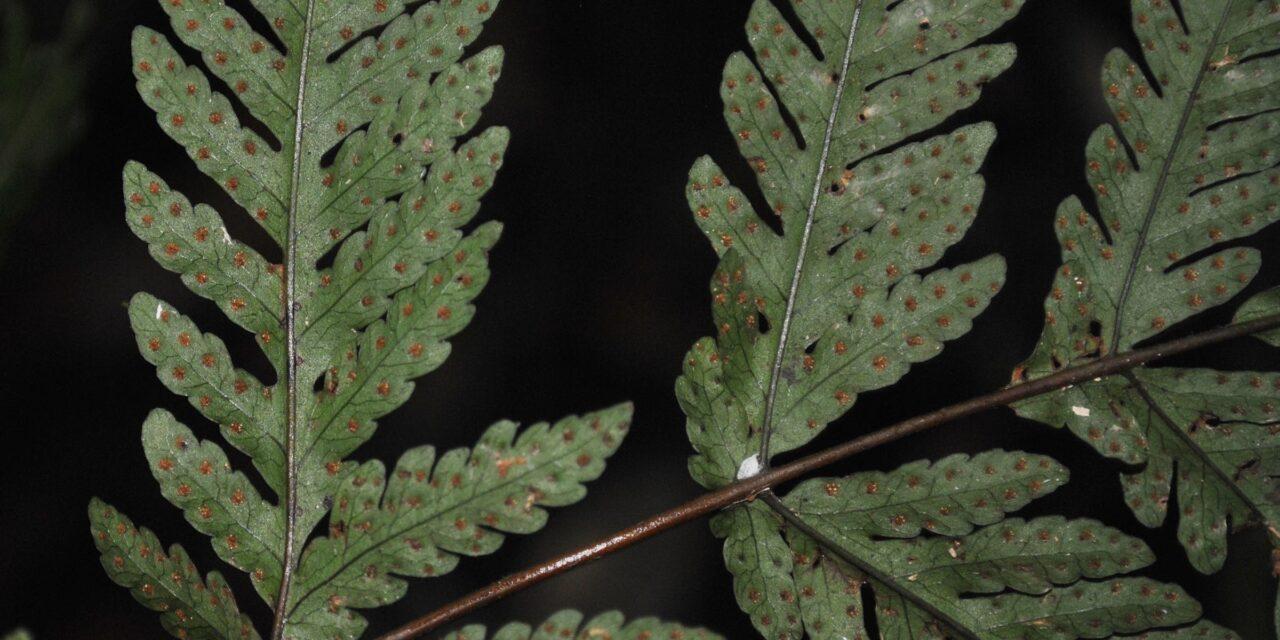 Tectaria ferruginea