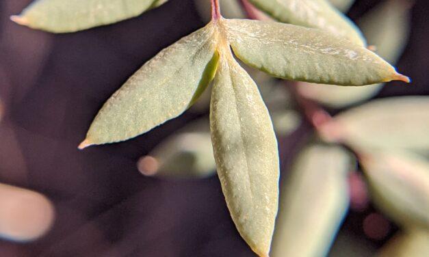 Pellaea wrightiana