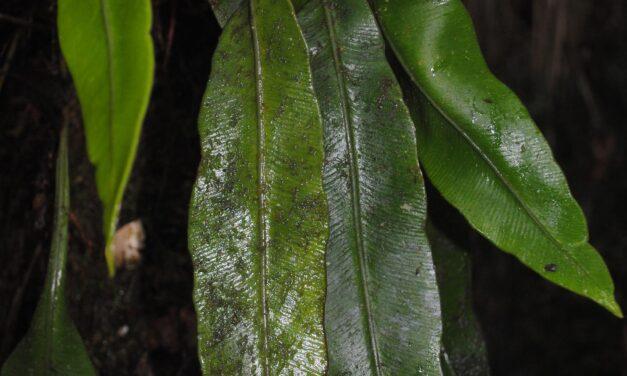 Elaphoglossum novoguineense