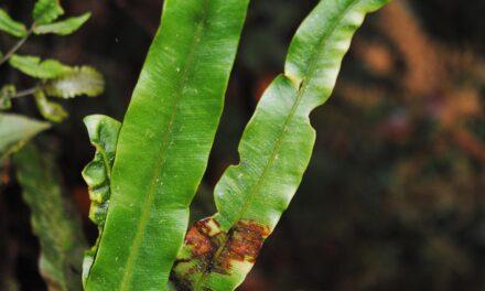 Elaphoglossum archboldii