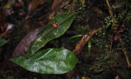 Elaphoglossum papillosum