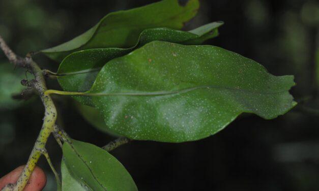 Phymatosorus papuanus