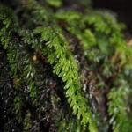 Hymenophyllum jamesonii