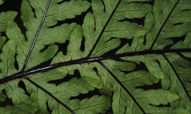 Tectaria kingii