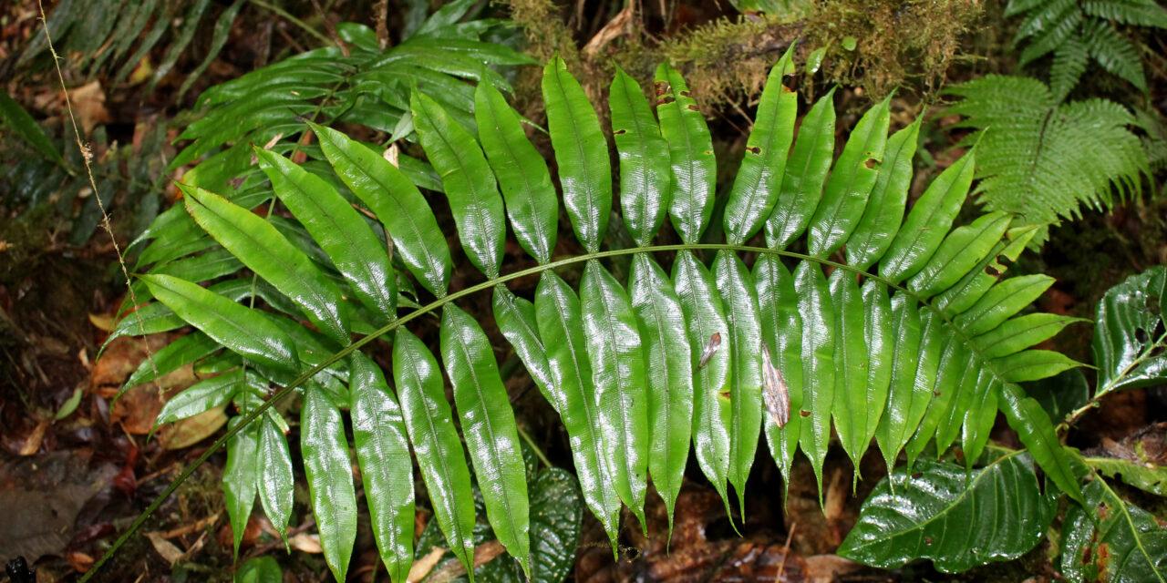 Lomaridium acutum