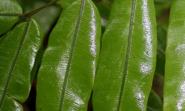 Salpichlaena volubilis subsp. thalassica