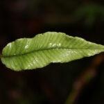 Elaphoglossum lloense