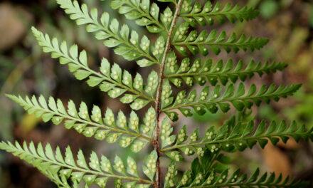 Polystichum muricatum