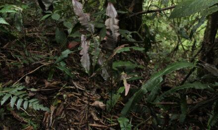 Salpichlaena volubilis subsp. amazonica