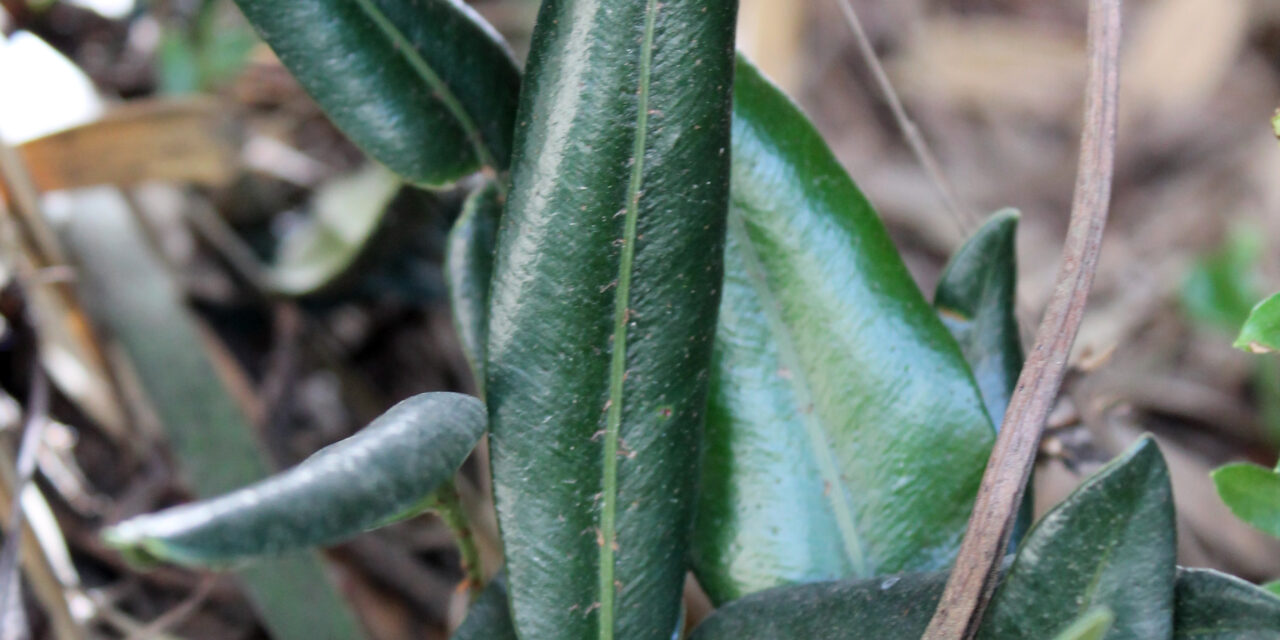 Elaphoglossum affine