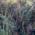 Polystichum paramicola