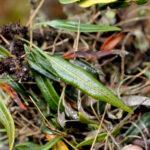 Elaphoglossum atrosquamatum