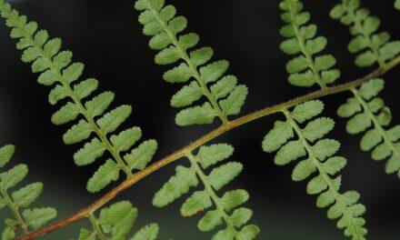 Paesia glandulosa