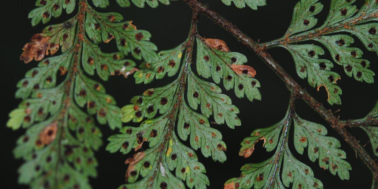 Lastreopsis killipii