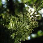 Hymenophyllum consanguineum