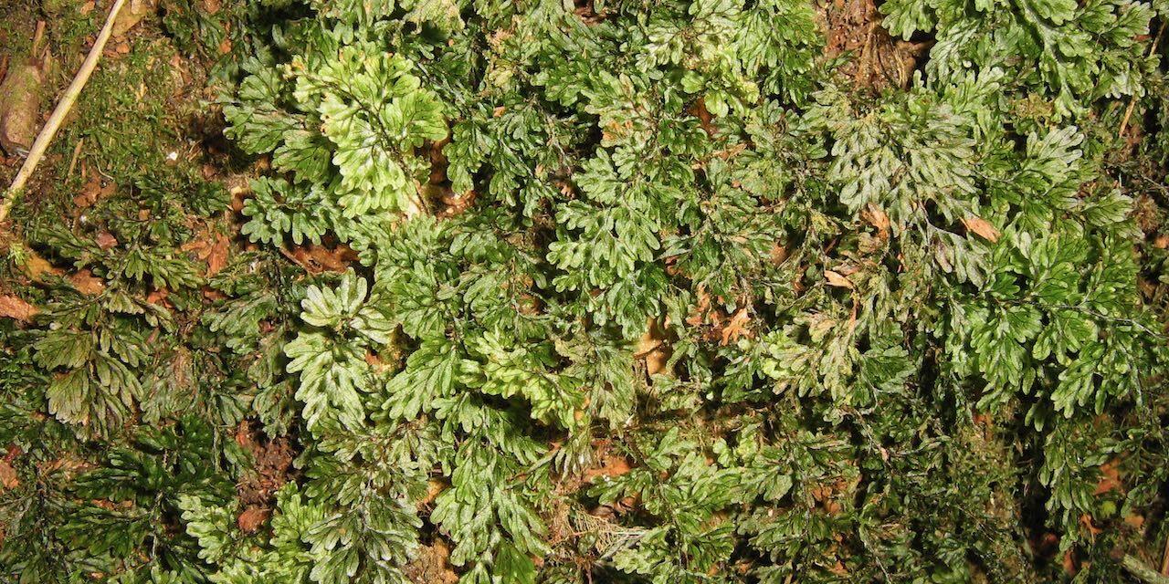 Hymenophyllum hirsutum