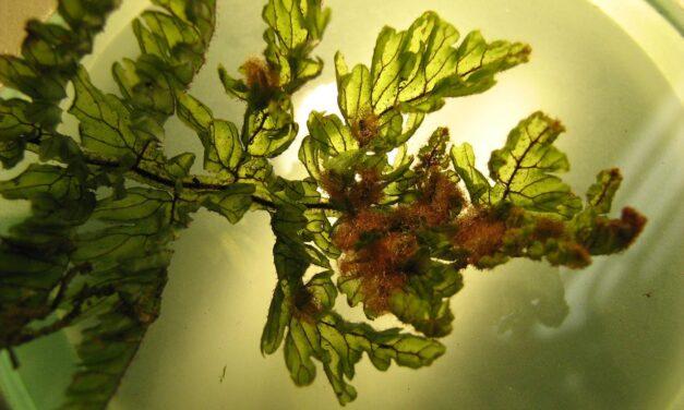 Hymenophyllum sieberi